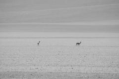 Vicuñas, Altiplano, Bolivia