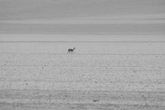 Vicuña, Altiplano, Bolivia