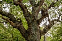 Oak tree, Isle of Vilm, Germany