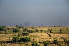 Giraffe and Nairobi skyline, Nairobi National Park, Kenya