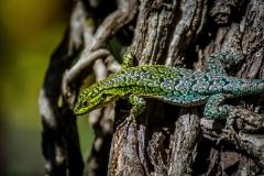 Jewel lizard, span.: lagartija esbelta (Liolaemus tenuis), Altos del Lircay National Reserve