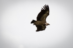 Griffon vulture (Gyps fulvus) in the Guilleries Massif (Pyrenees, Spain)