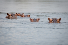 Hippopotamus (Hippopotamus amphibius) in the Lower Zambezi National Park, Zambia