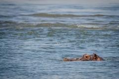 Hippopotamus (Hippopotamus amphibius) in Zambia (Lower Zambezi National Park)