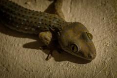 Tokay gecko (Gekko gecko) on Bohol, Philippines
