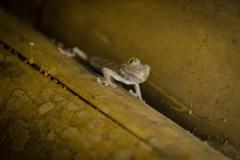 Baby tokay gecko (Gekko gecko) on Bohol, Philippines