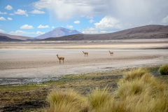 Vicuñas in the Eduardo Abaroa Andean Fauna National Reserve, Bolivia