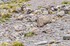 Andean fox, span.: zorro culpeo (Lycalopex culpaeus) in the Eduardo Abaroa Andean Fauna National Reserve, Bolivia