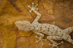 Gecko in the Makhtesh Ramon, Israel