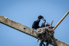 Neotropic cormorant (Phalacrocorax brasilianus), Ballestas Islands National Reserve, Peru