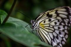 Butterfly, Atlanta, USA